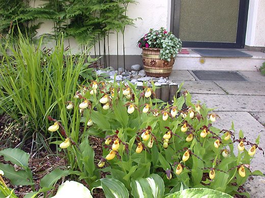Five plants each of Cypripedium Emil und Ingrid after 3 years