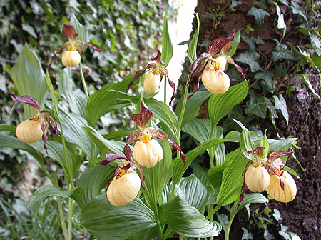 Cypripedium Inge, clump